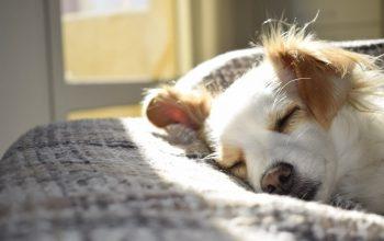 Behöver äldre hundar kosttillskott?