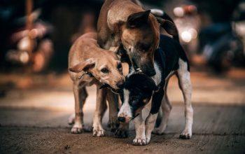 Risken med smuggelhundar när du ska köpa hund